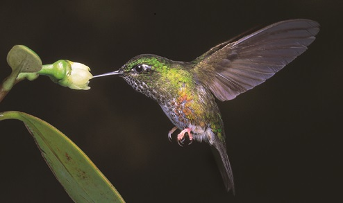 Colombia, Colourful Puffleg hummingbird