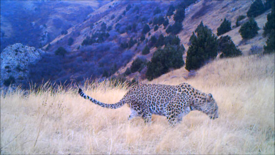 WLT_Caucasian Leopard project
