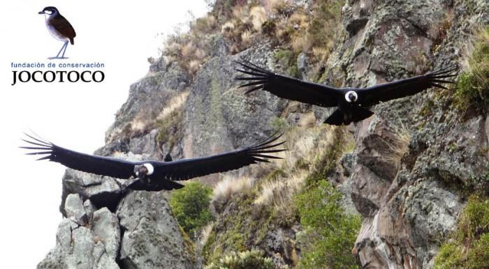 Andean Condors (Vultur gryphus)