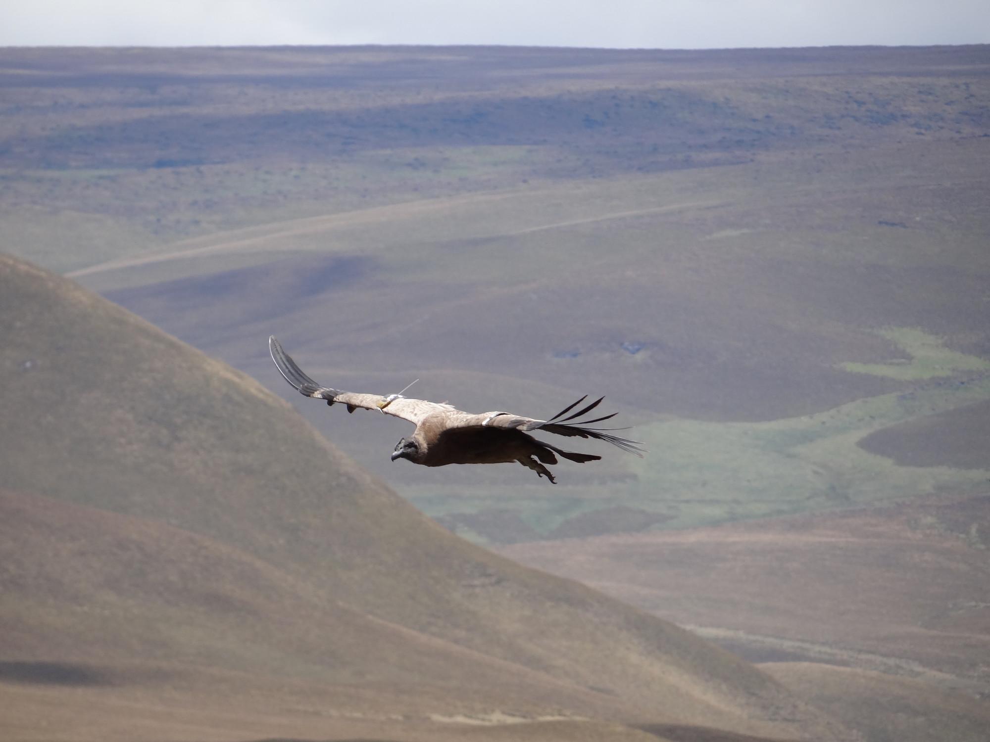 Andean Condor (juvenile)