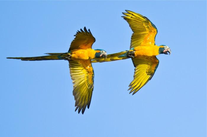 Blue-throated Macaw, Barba