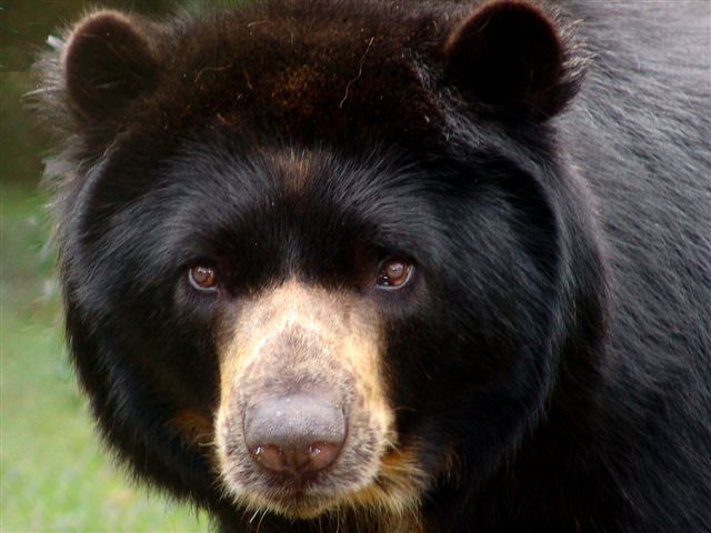 Spectacled Bear, Colombia